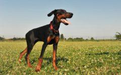 Perro raza Pinscher. Foto:gtres