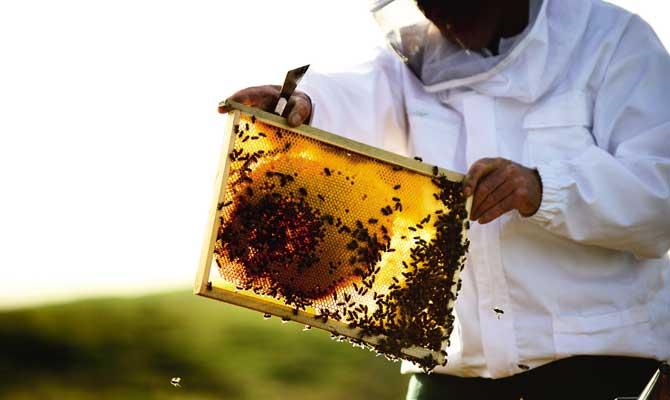 apicultor trabajando con sus abejas