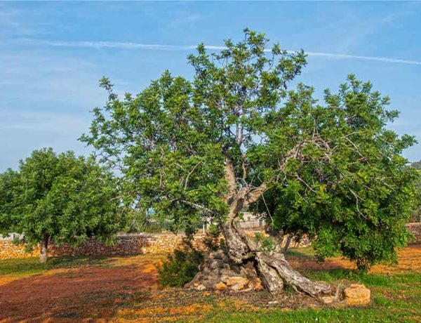 arbol en el campo cerca de Santa Eulária des Riu